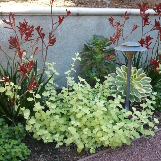 """Red Kangaroo Paw with bright lime Helichrysum petiolare 'Limelight' or Licorice Plant. Also pictured """"Sunburst"""" Aeonium"""