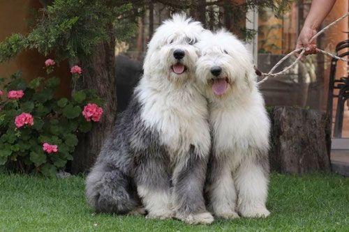 Bobtail, Pastor Ingles, Pastor Ovejero Ingles Cachorros | Razas de perros, Perros, Perros pastor ingles