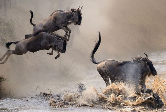 Wildebeest leap into the waters of the Mara River. INCREDIBLE!
