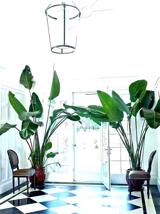 Large Interior Plants Big Indoor Plants Large Indoor Plants For Sale Stunning Big Indoor Plants Contemp House Plants For Sale Big Leaf Plants Big Indoor Plants
