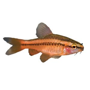 Cherry barb live fish petsmart aquarium fish for Petsmart live fish