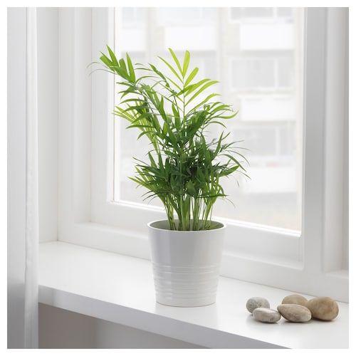 Chamaedorea Elegans Pflanze Bergpalme Ikea Deutschland In 2020 Bergpalme Pflanzen Topfpflanzen