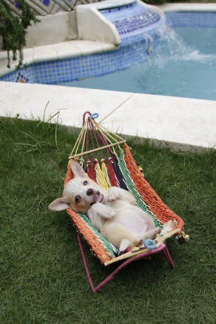 A Chihuahua hammock!  I have GOT to get Lily one of these!!