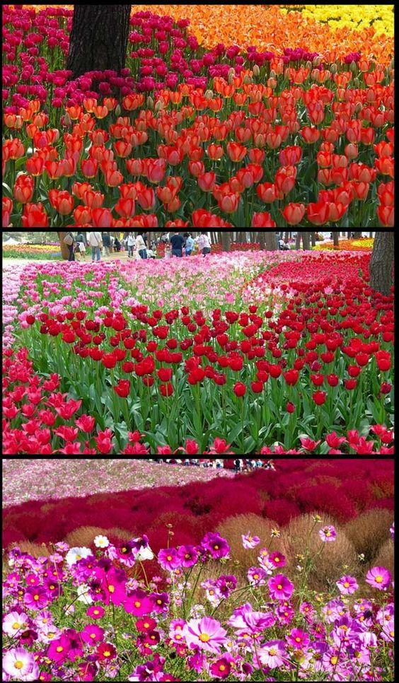 cool hitachi seaside park taman bunga yang cantik di