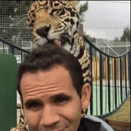 13 GIFs Of Big Cats Acting Like Regular-Sized Cats