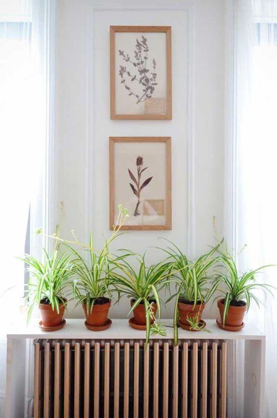A Planta-Aranha é bem prática, fácil de cuida e não exige muitas regas.