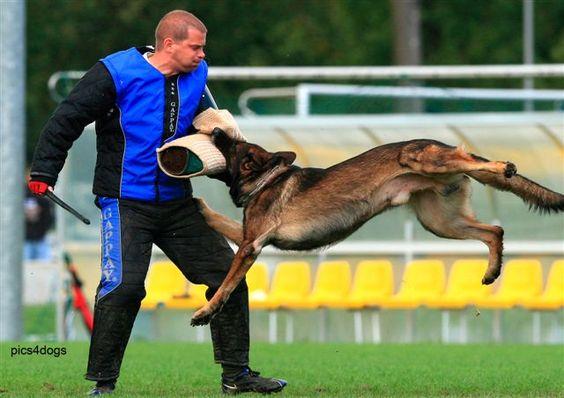 Nathan Vom Fegelhof (Nate)  12X Schutzhund 3, trainer Beth Bradley's German Shepherd