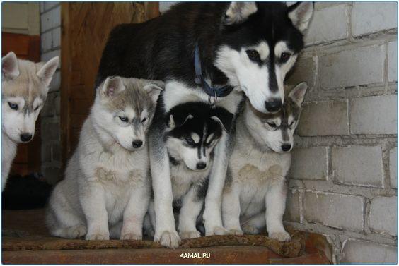 #хаски #лесси #колли #лиса #кошка #кошки #россия #собаки #серпухов #москва #спб #казань #самара #новосибирск #moskow #russia #husky #cats #dogs #animals #animal #serpuhov