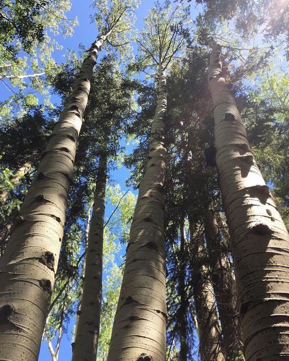 My Aspen's fine   #aspentrees #takeahike