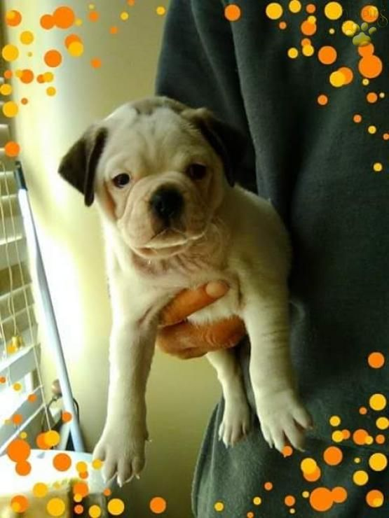 Casey Jug Puppy For Sale In Nottingham Pa Lancaster Puppies