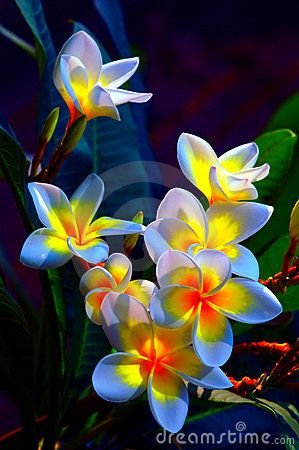 Group of beautiful frangipani flowers background: