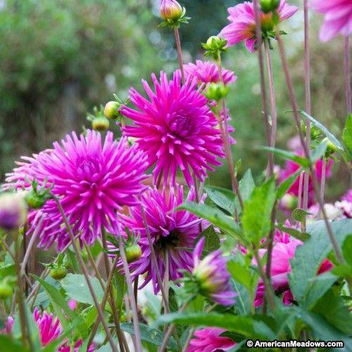 Purple Gem Cactus Dahlia Bulb Flowers Flower Garden Amazing Flowers