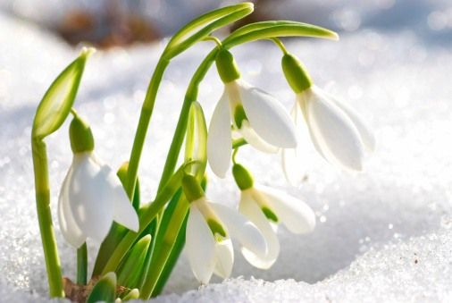 Snowdrop Flower Friendship In Trouble Consolation Hope List Of Flowers Winter Flowers Winter Plants