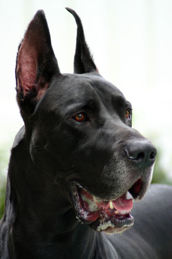 Pictures of Black Great Dane Cropped Ears - #rock-cafe