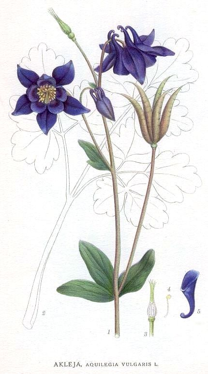 Aquilegia vulgaris illustration  - circa 1803