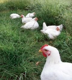 Raising Chickens for Meat: Do-it-yourself Pastured Poultry    Want to ensure that the chicken on your plate was raised and processed humanely? Do it yourself!