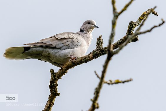 Eurasian Collared-Dove by FranoisSchneider. Please Like http://fb.me/go4photos and Follow @go4fotos Thank You. :-)