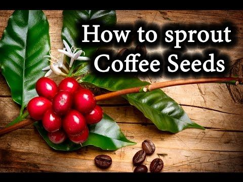 Indoor Coffee Bean Plants How To Sprout Coffee Seeds Youtube Bean Plant Growing Coffee Sprouts