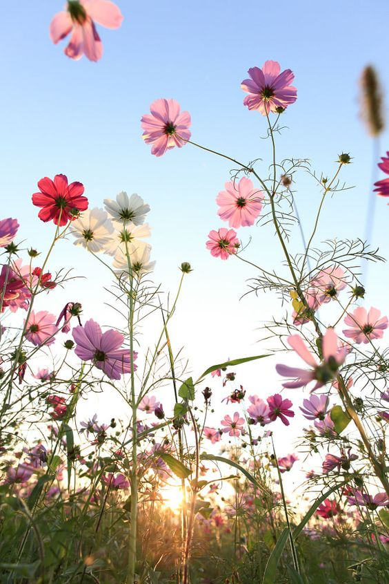Nature - Cosmos flowers with blue sky.: