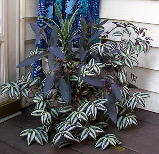 Shade-loving wandering Jew emphasizes the smooth leaves of purple heart and the stripes of upright Dracena. Love the colors together.
