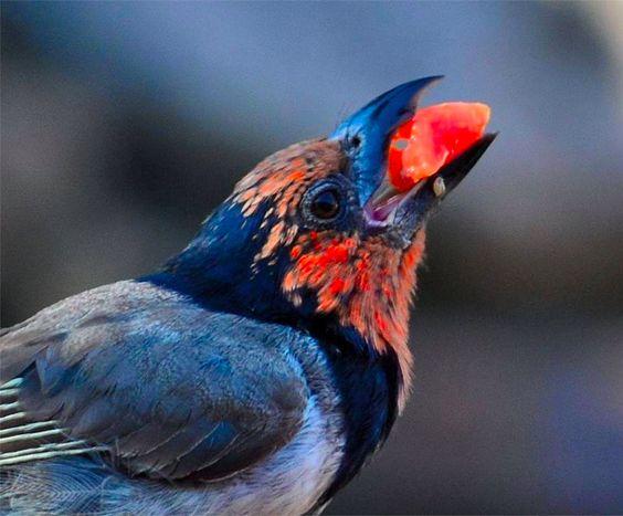 Black-Collared Barbet (Rooikophoutkapper) by Victor De Sousa #Praktika #Sprachreisen #Projekte #Freiwillienarbeit weltweit www.academical-travels.de