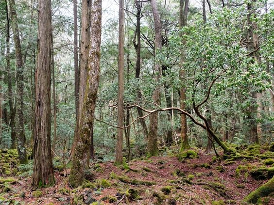 Aokigahara, el bosque de los suicidas 3d9f363c7eb4070df1d534c31695e23c