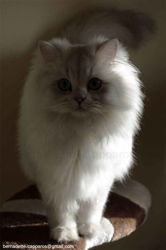 MCB Cats Kosmo, our sweet cat british longhair, dad of so lovely kittens / Crédit photo : Bernadette Capparos