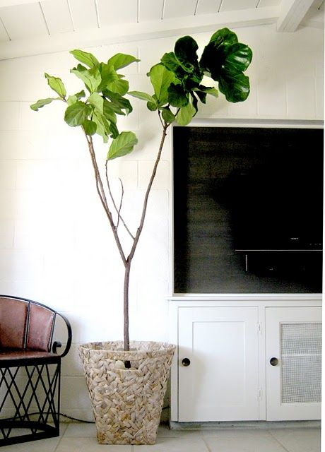 epic want:   fiddle leaf fig tree  abode love: a mans home is his wifes castle: fiddle leaf fig tree