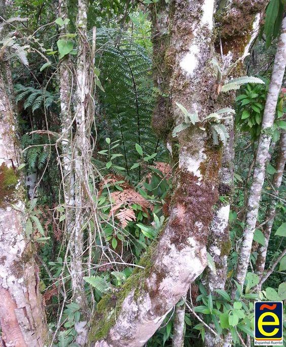 Young tree of Brazilian rainforest, Minas Geraes
