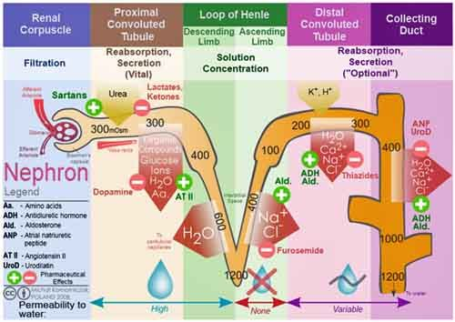 What Is the Urinary System, It's Functions, & Urinalysis -- Natural Health Newsletter