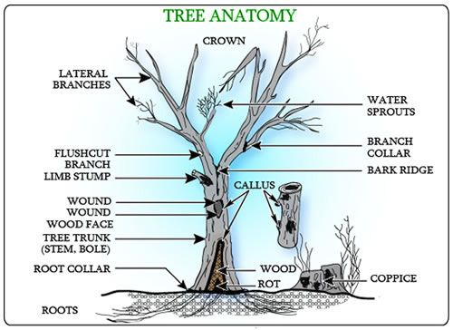 partsofatreejpg 500215364 science pinterest