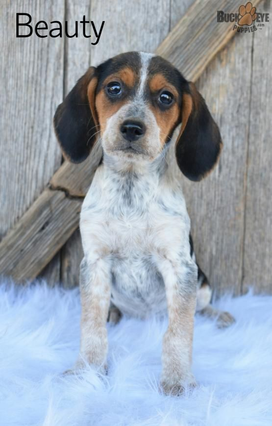 Beauty Tri Color Beagle Puppy For Sale In Baltic Oh
