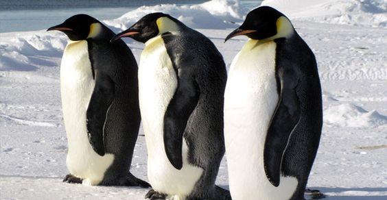 pinguins - Google zoeken