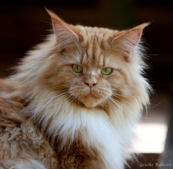 Maine Coon   Relaxing Tigers Tamaris   Maine Coon Cats ...  Maine Coon   Re...