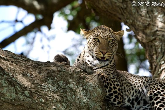 African- Leopard