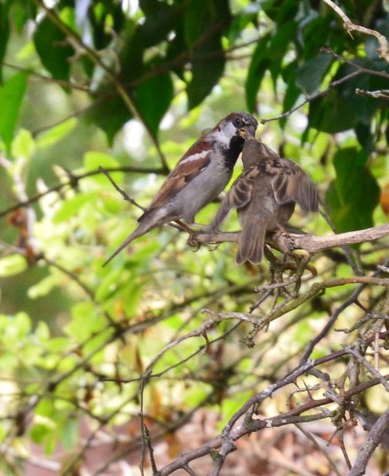 Young House Sparrow being fed by Daddy House Sparrow.