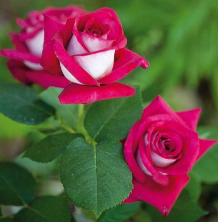 Róże - Mieszańce herbatnie