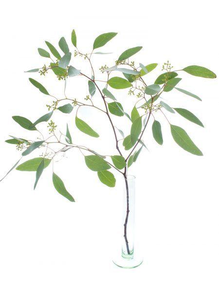Eukalyptus mit kleinen Beeren, Sorte 'Populus'. Eukalyptuszweige machen sich hervoragend zusammen mit anderen Schnittblumen oder solo in der Vase. Ganzjährig Saison im Januar, Februar, März, April, Mai, Juni, Juli, August, September, Oktober, November und Dezember. Jetzt mehr entdecken auf Blumigo.de! #blumen #grün #beiwerk #bindegrün #hochzeitsblumen #hochzeit #hochzeitsdeko #weddingflowers #eukaylptuszweige
