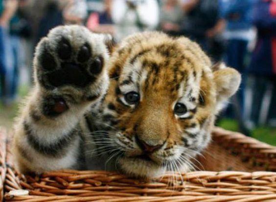 ¡Choca esos cinco! | #Tigre #Animales