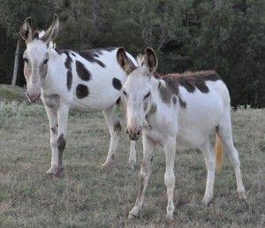 Spotted-Donkeys-300x258.jpg (300×258):