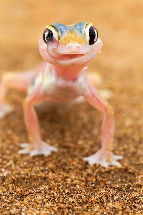 Web-footed Gecko. Very extraordinary colour and use of adorable.