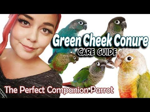 Green Cheek Conure Care A Complete Guide Youtube Conure Conure Parrots Homemade Bird Toys