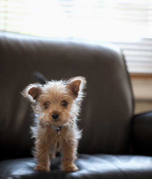 Yorkshiere terrier puppies...?