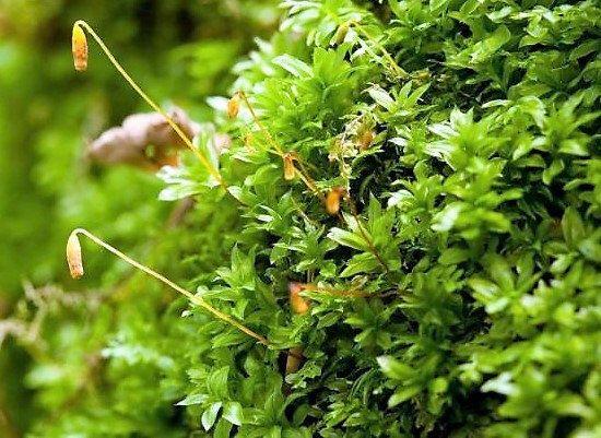 Plagiomnium Cuspidatum Baby Tooth Moss For Terrarium Vivarium