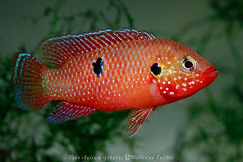 Red Jewel Cichlids: Photo des Tages - Hemichromis guttatus
