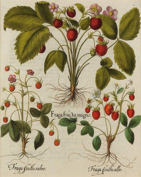 Basilius Besler - Fraga fructu magno/Grossfruchtige Erdbeere, 1613.
