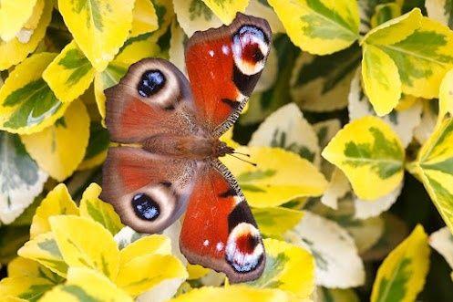 European Peacock Butterfly persone-e-cose-belle-e-rispettabili