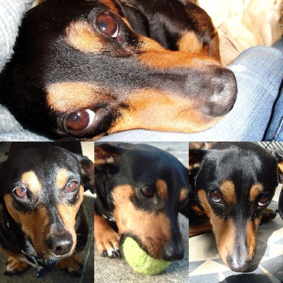 My dacshund Bruno