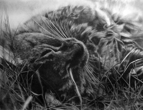 Cat pencil drawing.