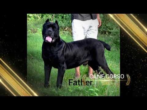 Cane Corso Puppies Ear Cropped For Sale In India 2 Months Plus Age Whatsapp Asap Cane Corso Puppy Youtube Cane Corso Puppies Cane Corso Puppies